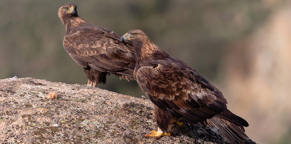 Carles Santana – golden_eagle_arribes_2 – Blue Sky Wildlife