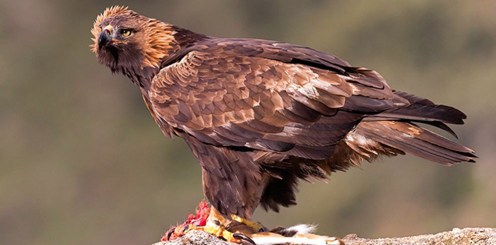 Carles Santana – golden_eagle_arribes_3 – Blue Sky Wildlife