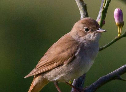 Extended Southern Portugal Migration Birding Tour