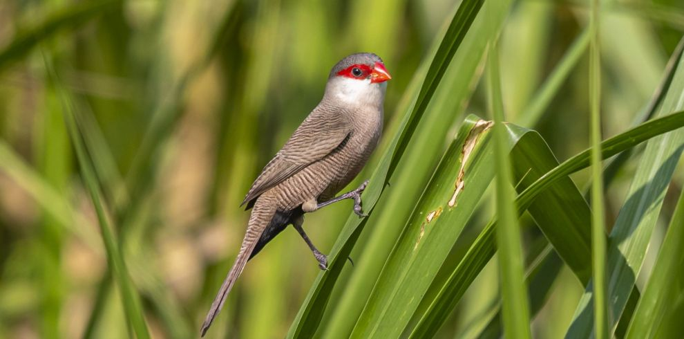 FrankMcClintock-CommonWaxbill-3887-BlueSkyWildlife