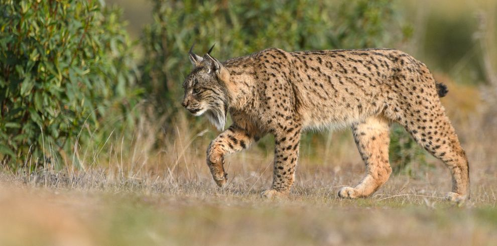 Iberian Lynx Photography Tour