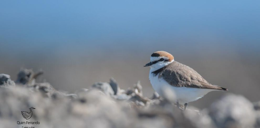 kentish plover 2