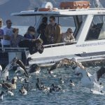 Albatross encounter Boat and Birds