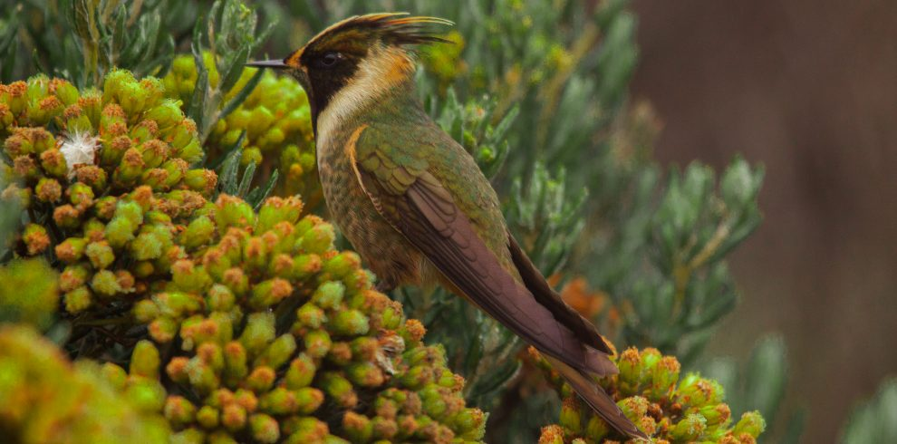 Bearded Helmetcrest_Oxypogon guerinii210114001625