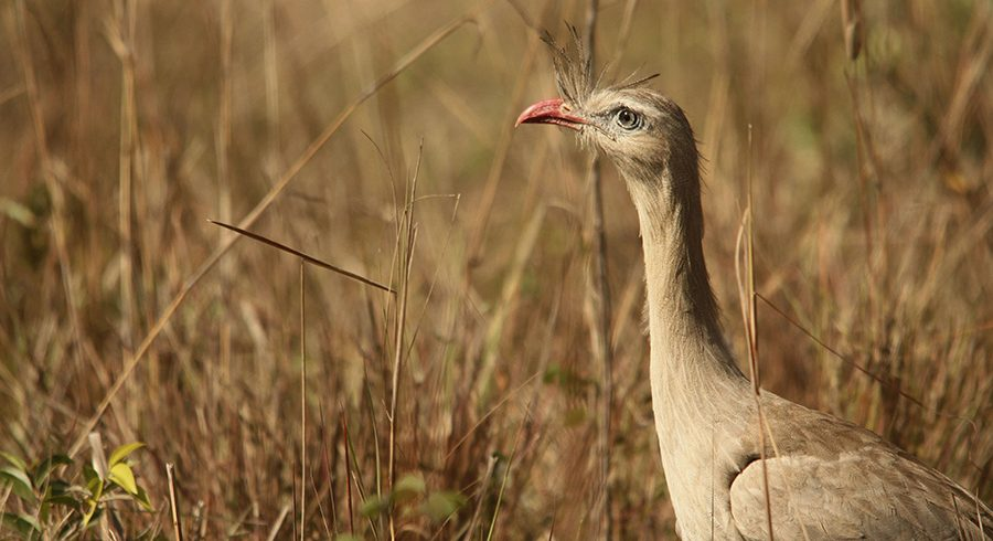 Red legged Seriema in Pantanal Photography tour