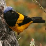 Golden-backed Mountain-Tanager Cropped IMG_2261