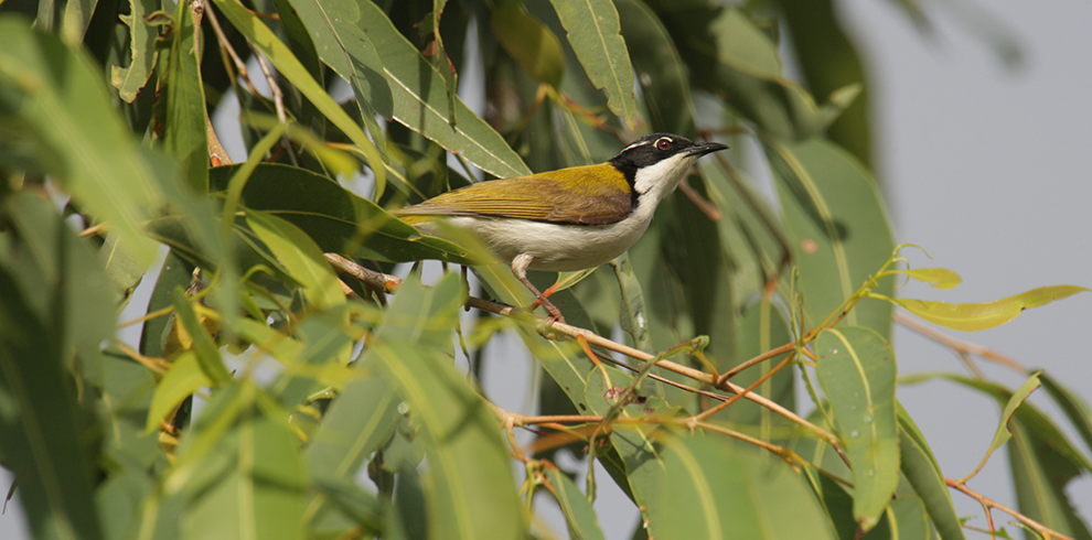 White-throated_Honeyeater