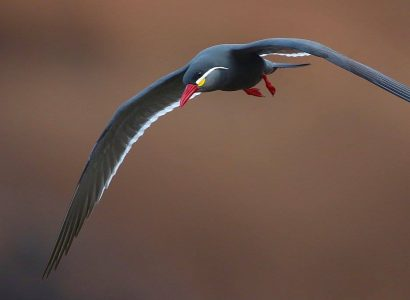 Bird watching Trips - Inca Tern by Kevin Bartlett