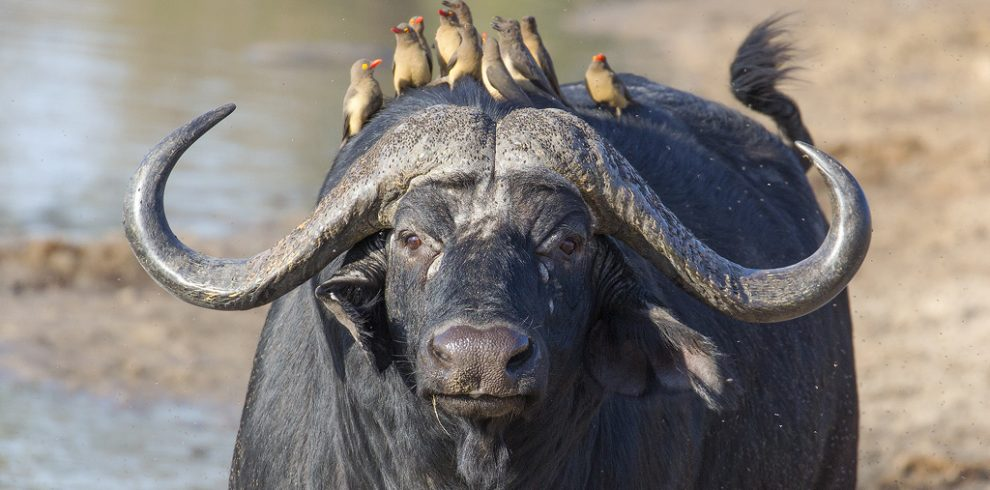Buffalo and Oxpeckers