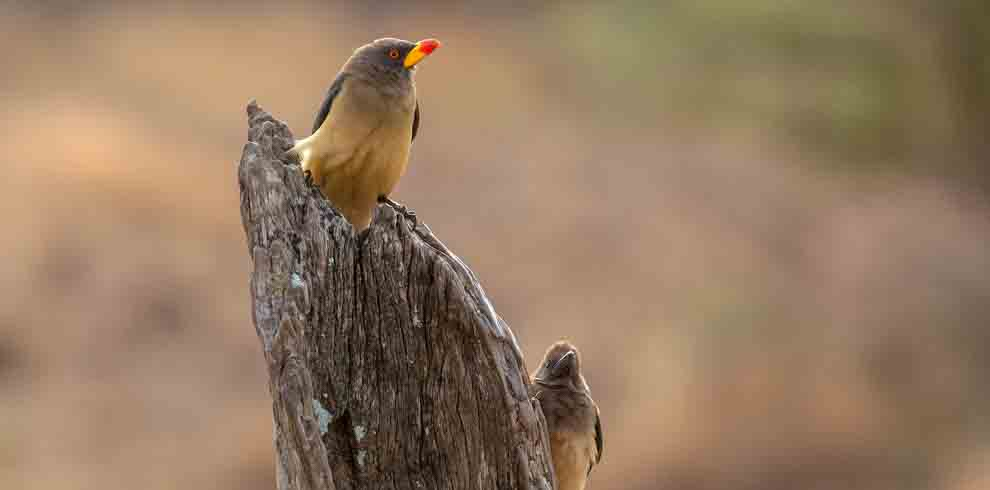 Yellow-biled Oxpeckers
