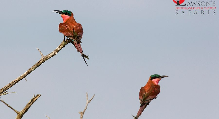 carmine-bee-eaters-lawsons-custom-safaris