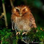 Long-whiskered Owlet2 – Alex Durand