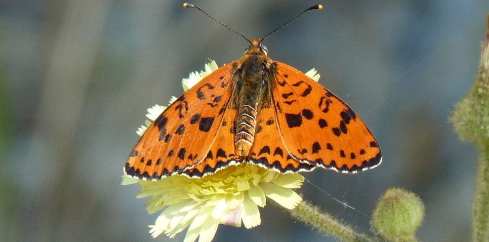 Butterfly Spotted Fritillary