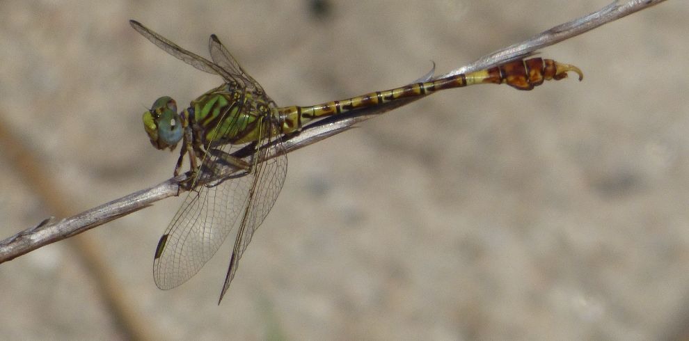 Dragonfly Green Hooktail