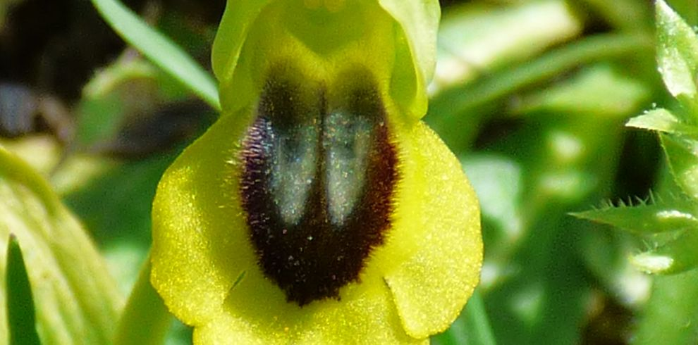 Orchids Yellow Bee Orchid