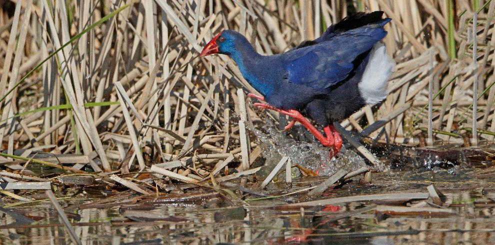 Spring Birding Purple Swamphen
