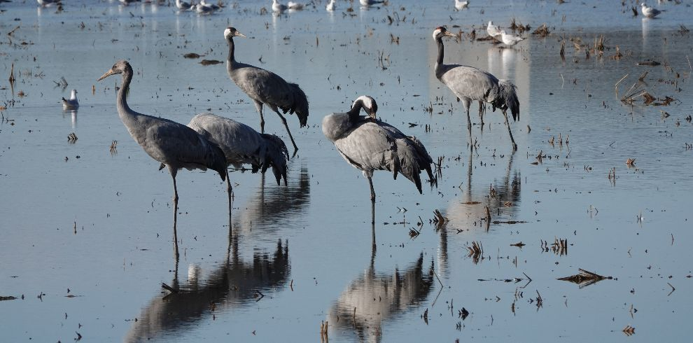 Winter Birding Common Crane