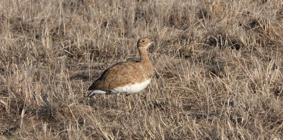 Winter Birding Little Bustard
