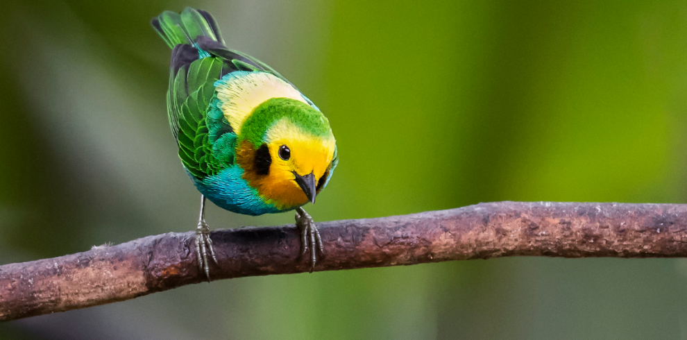 Multicolored Tanager_JJ Arango