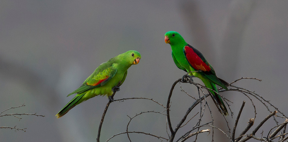Red-winged_Parrot