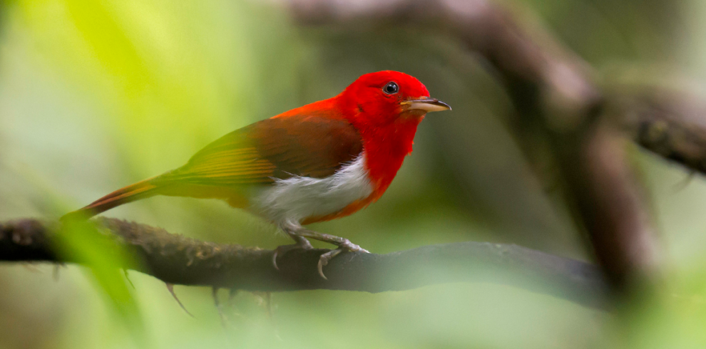 Scarlet-and-white Tanager_JJ Arango