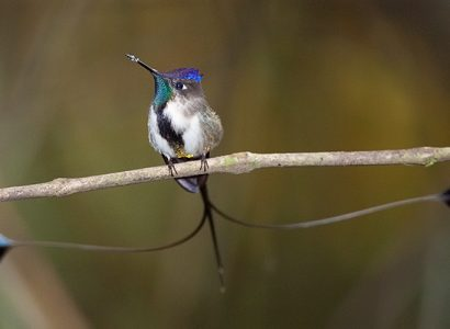Marvelous Spatuletail - Max Waugh