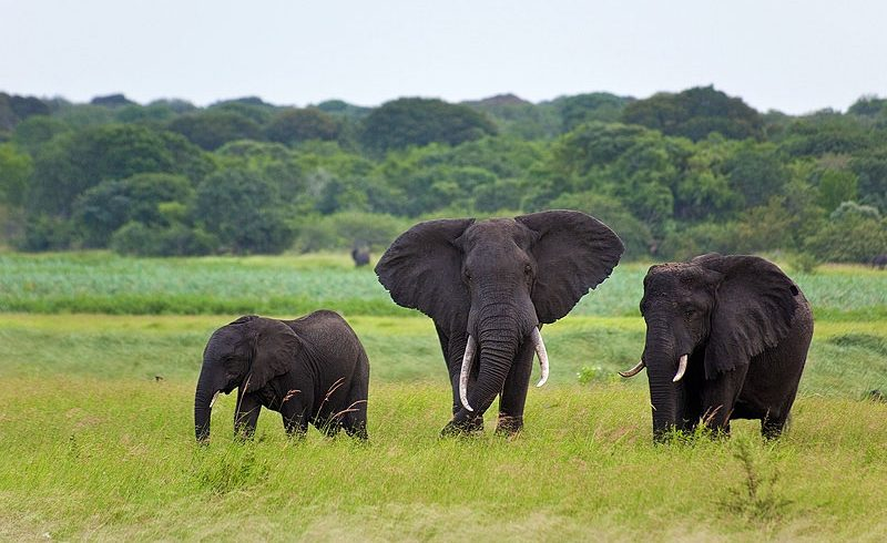 Elephants at Tembe