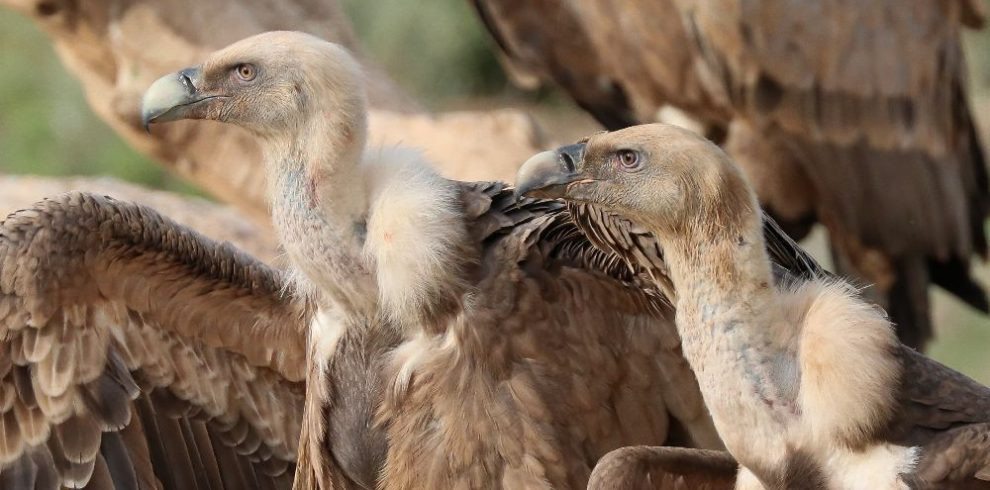 Bird watching tours in Spain, Griffon Vultures