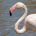 Greater Flamingo, Ebro Delta Birding