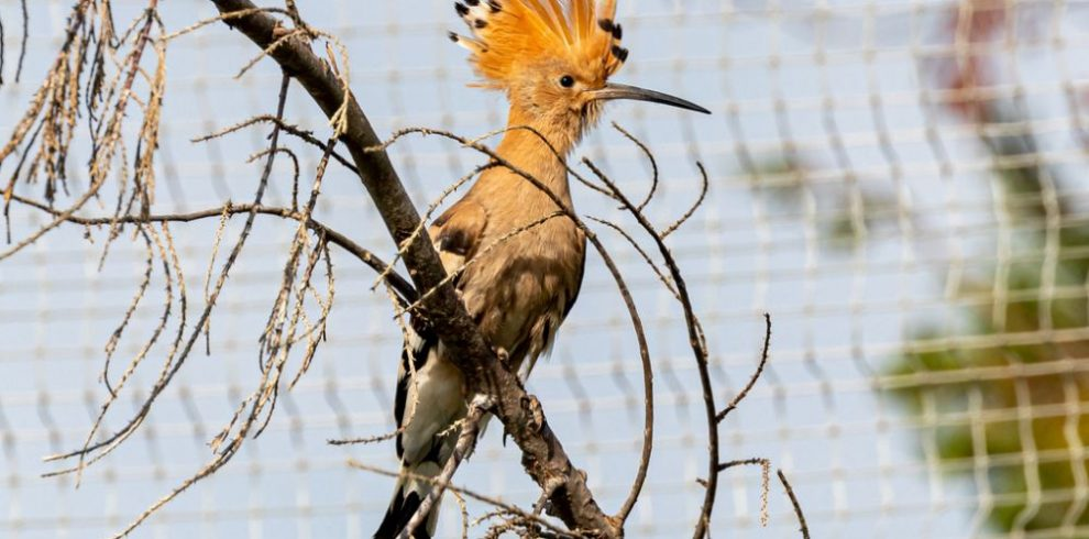 Hoopoe, birding in Spain