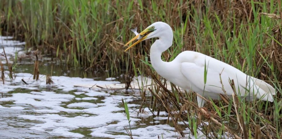 Great Egret, Ebro delta bird watching tours