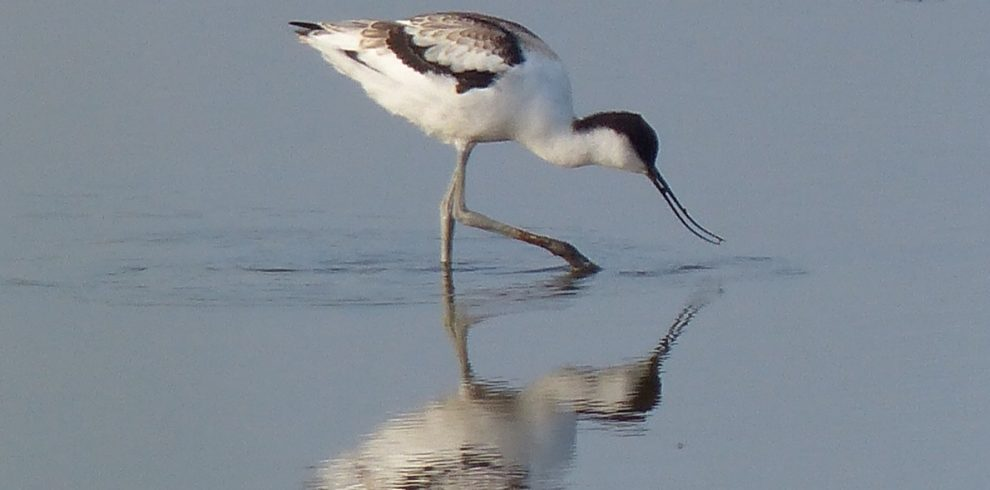 Avocet in water with reflection Norfolk