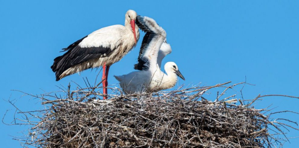 White Stork, bird watching tours in Catalonia