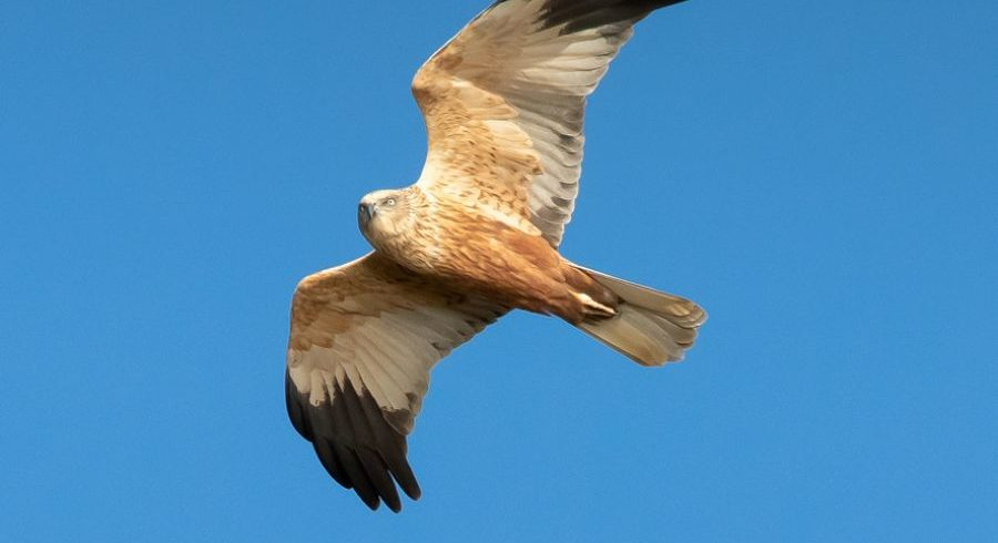 Marsh Harrier, Ebro Delta Birding