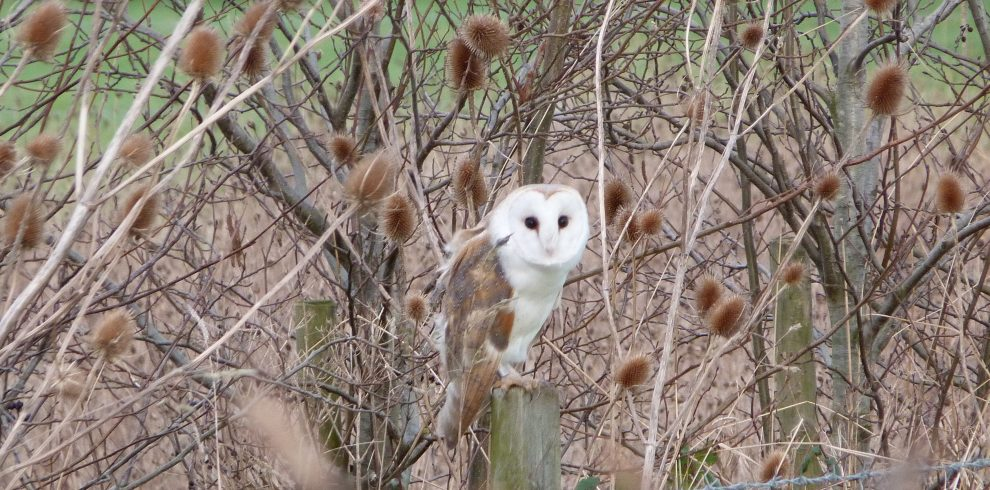 Barn Owl perches amongst branches in Norfolk