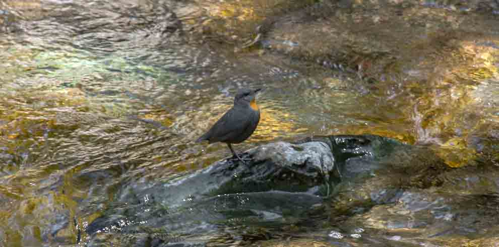 Bird Watching in Northwest Argentina Tour Rufous-throated Dipper – Luis Segura