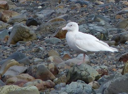 Glaucous gull stands on beach on Mjull