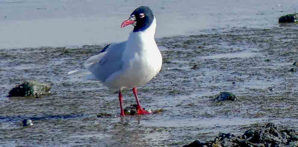 Med Gull adult March 2020 1A