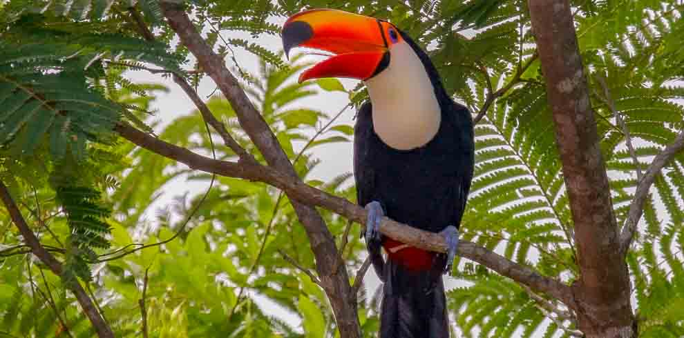 Northeastern Argentina Birding and Wildlife Tour – Toco Toucan – Luis Segura