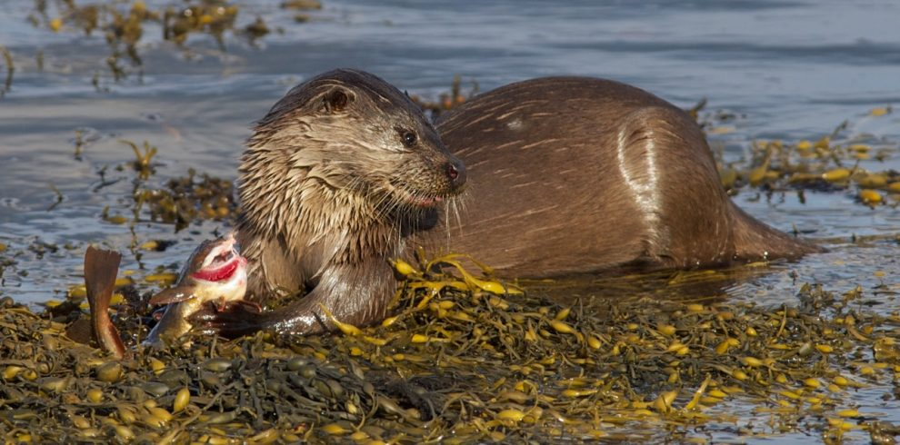 Otter chews on fish beside water on Mul