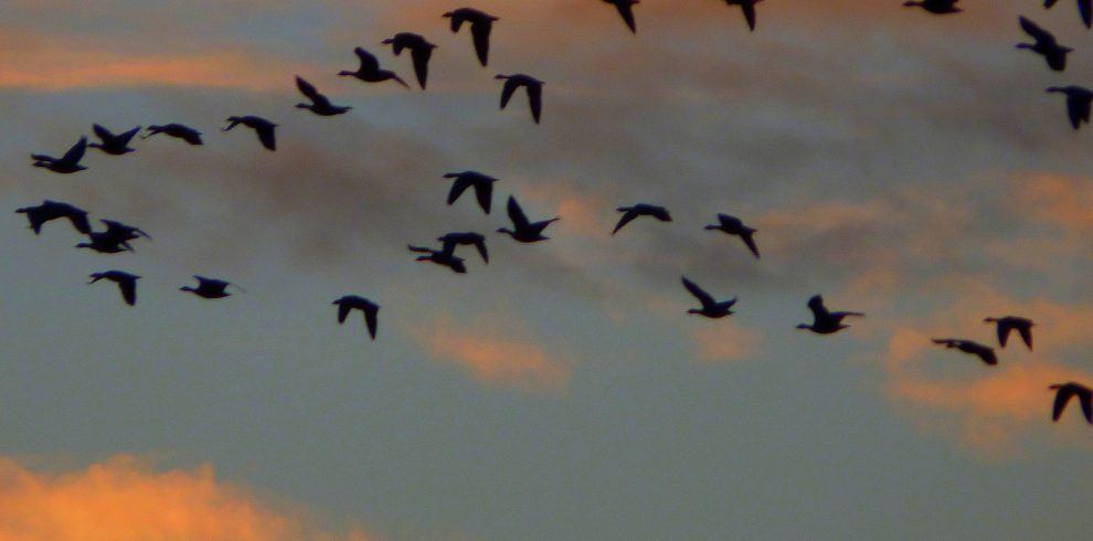 Skein of Pink footed Geese flying against sunset Norfolk