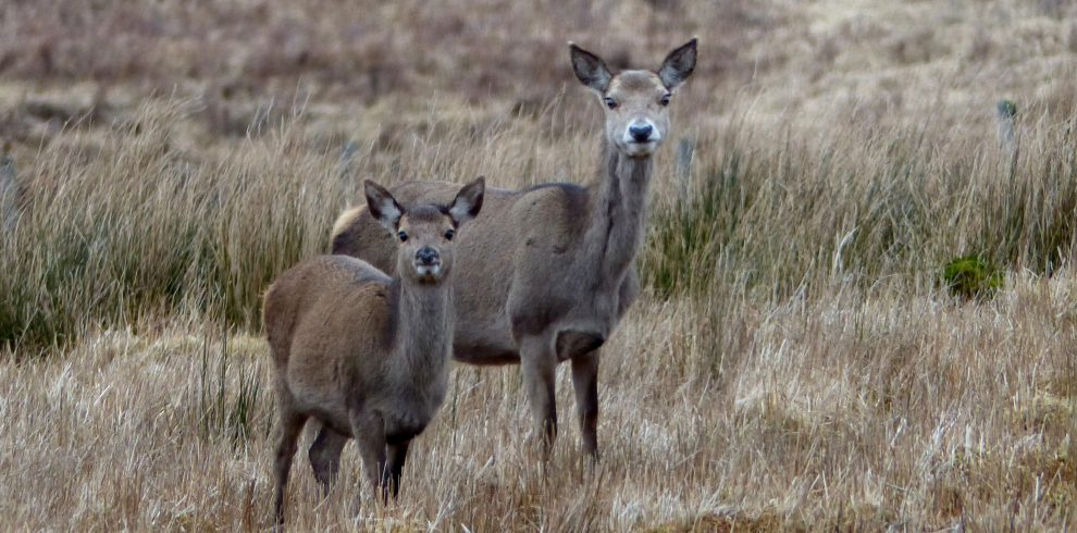 Two red deer stand amongst long grass on Mull