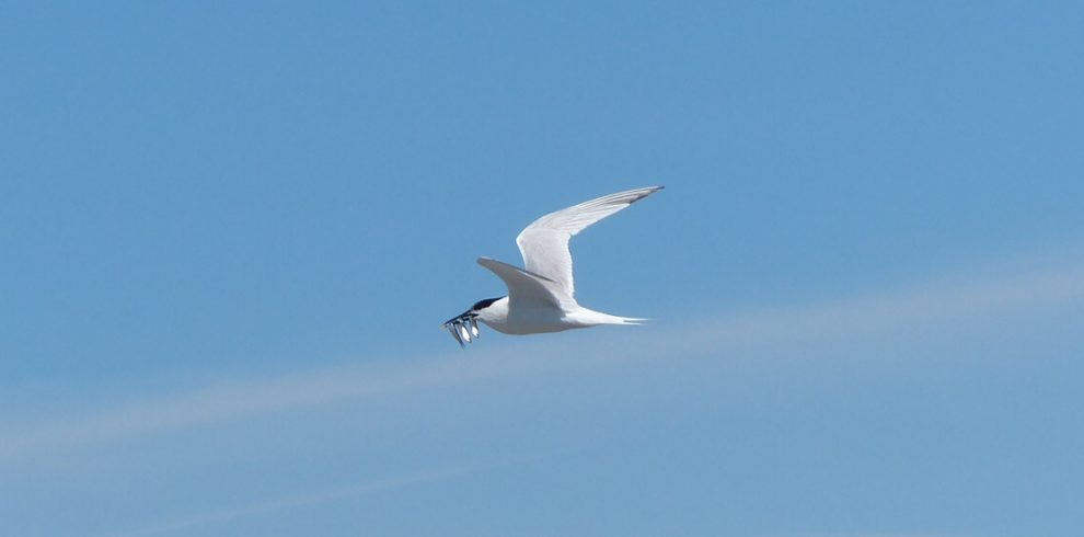 Sandwich Tern flying with fish in bill North Wales
