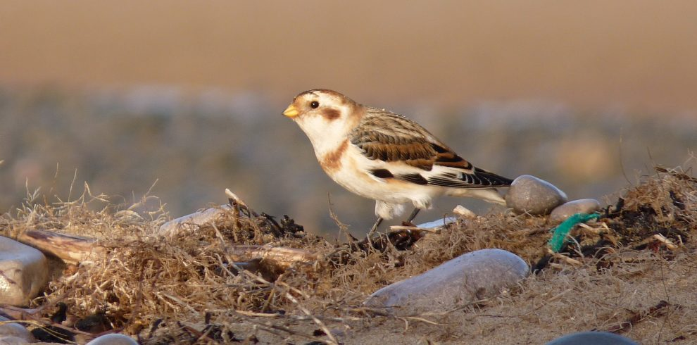 Snow Bunting stands amongst pebbles and sand on beach North Wales