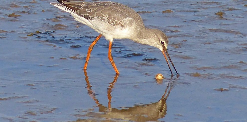 Spotted Redshank probes mud with bill Norfolk