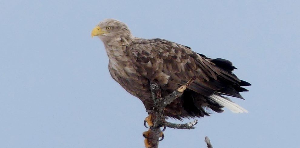 White tailed Eagle perches on branch in Scotland