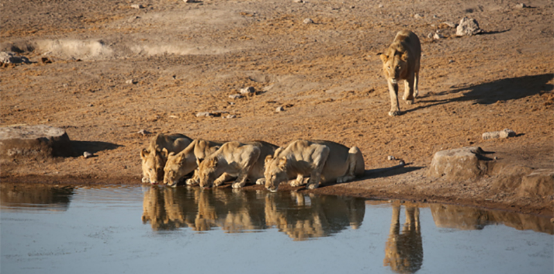 Drinking lions in Namibia