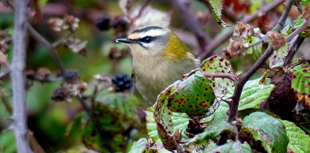 Firecrest looks through bramble leaves North Wales