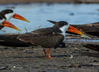 Birding Namibia, African Skimmers