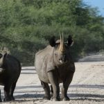 Nature Travel Namibia - Black Rhinoceros